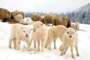 gregge-di-pecore-con-agnell-sulla-neve