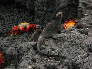iguane-e-granchi-alle-galapagos