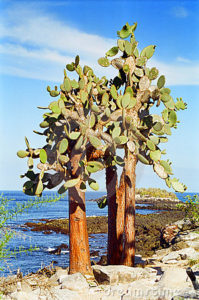 albero-del-cactus-del-galapagos-15591695