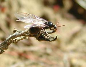 formica-con-ali
