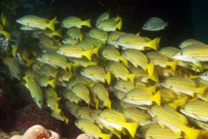 pesce%20azzannatore%20striato