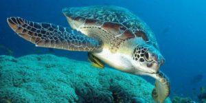 tartaruga-marina