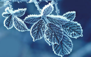 Foglie ghiacciate