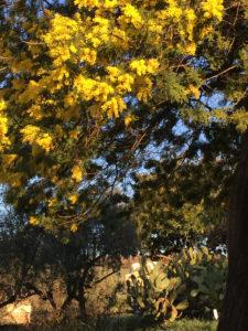 mimosa-pp-sfondo-fichi-dindia-vert