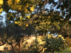 mimosa-fichi-dindia-orizzont