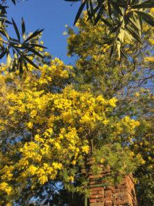 mimosa-ingresso