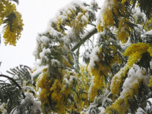 mimose-con-neve