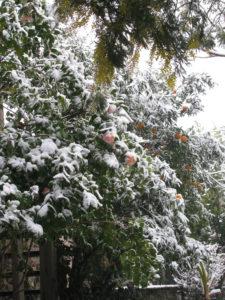 camelie-mimise-mandarini