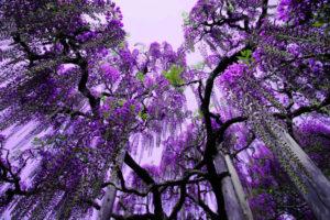 glicine,-alberi-viola