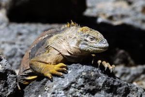 iguana20di20terra