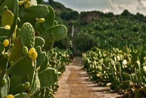 Sicilia. Coltivazione